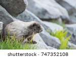 Marmot Tucked Under Boulder In...