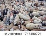 goat masses in shelter  near... | Shutterstock . vector #747380704