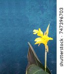 yellow carnation flower on blue ...   Shutterstock . vector #747396703
