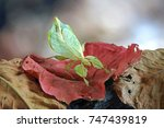 insects   bugs   leaf insect ... | Shutterstock . vector #747439819