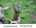 Otters At Attention