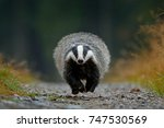 badger in the forest  animal in ... | Shutterstock . vector #747530569