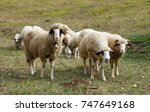 Small photo of The sheep with bell look in camera and other two have very protective stand,especially the ram,with very big horns, there is also a little lamb that hiding behind them, while others eating grass.