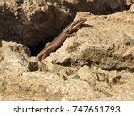 lizard. | Shutterstock . vector #747651793