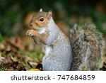 Cute Grey Squirrel Eating A Nut