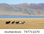 beautiful mongolian horses... | Shutterstock . vector #747711670