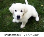 White Golden Retriever Puppy...