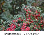 Red Cotoneaster Berries On The...