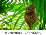 A Tarsier Monkey Holding On To...