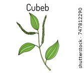 java pepper  piper cubeba   or... | Shutterstock .eps vector #747812290