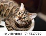 Bengal Domestic Cat
