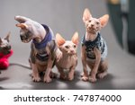 bambino cat  central  and sphynx | Shutterstock . vector #747874000