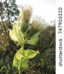 Small photo of flower of cabbage thistle, Cirsium oleraceum