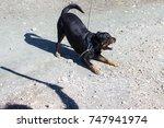 rottweiler barking at someone... | Shutterstock . vector #747941974