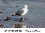 california gull along santa... | Shutterstock . vector #747946930