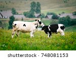 calves nuzzle each other | Shutterstock . vector #748081153