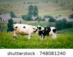 calves nuzzle each other | Shutterstock . vector #748081240