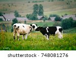 calves nuzzle each other | Shutterstock . vector #748081276
