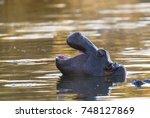 hippopotamus   kruger national... | Shutterstock . vector #748127869