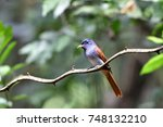 asian paradise flycatcher | Shutterstock . vector #748132210