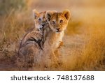 lion cubs playing | Shutterstock . vector #748137688