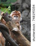 Javan Lutung Monkey Eating A...