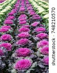 Small photo of Brassica oleracea, acephala, Ornamental kale purple cabbage plant in row