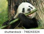 a panda eats a large bamboo...   Shutterstock . vector #748243324