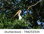 Small photo of The painted stork Their distinctive pink tertial feathers of the adults give them their name. They forage in flocks in shallow waters along rivers or lakes.