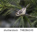 Black Throated Gray Warbler In...