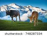 Cows Walking On Alpine Meadow....