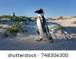 african penguin  spheniscus... | Shutterstock . vector #748306300