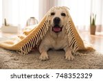 Stock photo beautiful labrador retriever covered with a blanket 748352329