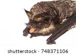 parti coloured bat  vespertilio ... | Shutterstock . vector #748371106