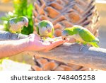 Small photo of Three green amazon parrots are fed from a hand on the Canary Island of Fuerteventura, Spain.