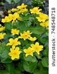 marsh marigold  caltha... | Shutterstock . vector #748548718
