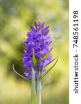 southern marsh orchid  ... | Shutterstock . vector #748561198
