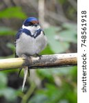 Small photo of White throated swallow.
