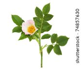 Wild Rose In Flower Isolated...