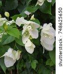 white bougainvillea  flower.  | Shutterstock . vector #748625650