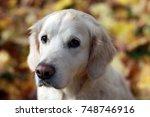 portrait of a golden retriever... | Shutterstock . vector #748746916
