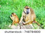 Monkey Baboon Female With Baby...