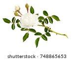 twig of garden rose flower ... | Shutterstock . vector #748865653
