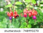 Fuchsia Flower Background  A...