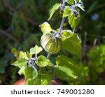 Fruit Of Physalis Peruviana  I...