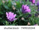 two purple flowers against... | Shutterstock . vector #749010244