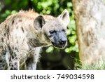hyena closeup portrait | Shutterstock . vector #749034598