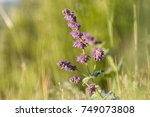 Small photo of Violet lilac sage (Salvia verticillata) on sunny grassy steppes