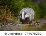 badger running in forest ... | Shutterstock . vector #749075230