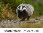 badger running in forest ... | Shutterstock . vector #749075248